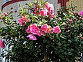 Pink peony shrub, Philip Lane, Haringey, London 1.jpg