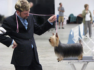 Conformation show - This handler prepares a Silky Terrier to be presented.