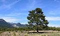 Pinus brutia - Kızılçam 01.JPG