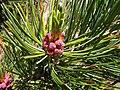 Pinus cembra male cone.jpg