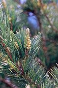 Pinus flexilis male cones.jpg
