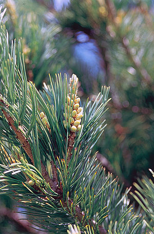 Northern Basin and Range ecoregion - Image: Pinus flexilis male cones
