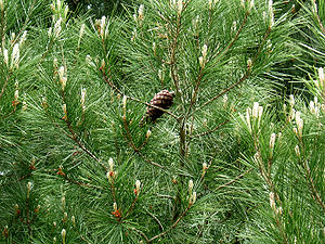 Mediterranean woodlands and forests - Foliage and cone of the Aleppo pine—(''Pinus halepensis'').