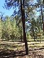 Pinus ponderosa subsp. brachyptera kz04.jpg