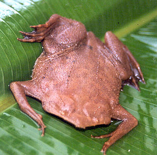 Common Surinam toad species of amphibian