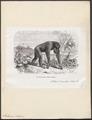 Pithecus satyrus - 1872 - Print - Iconographia Zoologica - Special Collections University of Amsterdam - UBA01 IZ19800033.tif