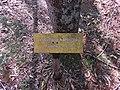 Placa da árvore chapéu-de-Napoleão (Thevetia peruviana) por Jani Pereira 1.jpg