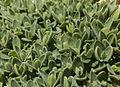 Plant on Zugspitze.jpg