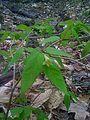 Plante inconnue de forêt sol acide tourbeux du Quebec (5730435689).jpg