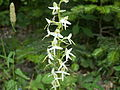 Platanthera bifolia3.jpg