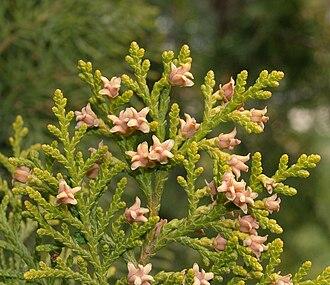 Platycladus - Image: Platycladus orientalis 20070330 3