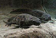 Two grey newts, taken from the front, under water, presumably in an aquarium
