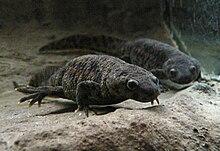 Dois salamandras cinzento, tomadas a partir da frente, debaixo de água, presumivelmente em um aquário