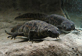 Newt - Pleurodeles, including the Iberian ribbed newt, is the type genus of subfamily Pleurodelinae.