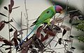 Plum-Headed Parakeet.jpg
