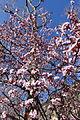 Plum blossom @ Paris (25437213252).jpg