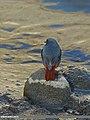 Plumbeous Water Redstart (Rhyacornis fuliginosa) (15272691954).jpg
