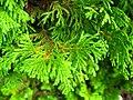 Podlaskie - Suprasl - Kopna Gora - Arboretum - Chamaecyparis pisifera 'Plumosa Aurea Compacta' - branch.JPG