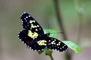 Chlosyne - Poecile checkerspot (C. poecile) Costa Rica