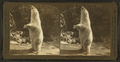 Polar bear (Ursus maritimus), Zoo, Lincoln Park, Chicago, from Robert N. Dennis collection of stereoscopic views.png