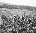 Polja za vasjo Male Lipljene 1964 (2).jpg