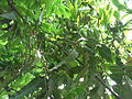 Polyalthia longifolia-3-yercaud-salem-India.JPG