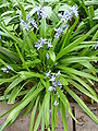 Polygonum virginianum (Polygonaceae) plant.jpg