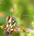 Polymerus.unifasciatus (cropped).jpg