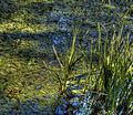 Pond (8059725540) (2).jpg