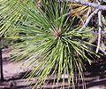 Ponderosa Pine branch-750px.JPG