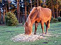 Pony feeding on straw, Longdown Inclosure, New Forest - geograph.org.uk - 306479.jpg