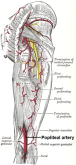 The arteries of the gluteal and posterior femoral regions. (Popliteal labeled at bottom center.)