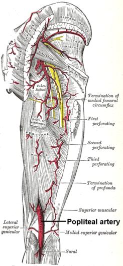 Arteria poplítea - Wikipedia, la enciclopedia libre