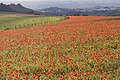 Poppy field at Fontmell Down 1 20091016.jpg