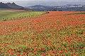 Poppy field at Fontmell Down 1 20091016.jpg