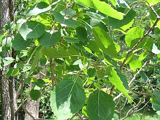 <i>Populus grandidentata</i> species of plant