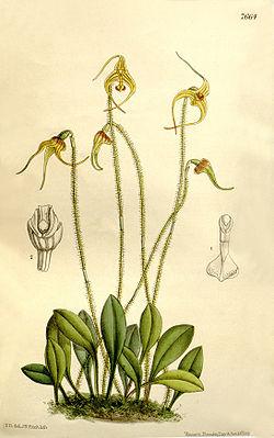 Porroglossum muscosum (as Masdevallia muscosa) - Curtis' 125 (Ser. 3 no. 55) pl. 7664 (1899).jpg