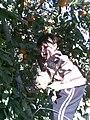 Portakal Bahçesi (Berat Elma) - panoramio.jpg