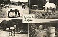 Postcard of Lipica 1965.jpg