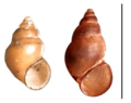 Potamopyrgus antipodarum shell.png