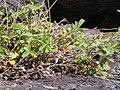 Potentilla glandulosa pseudorupestris (4397620682).jpg