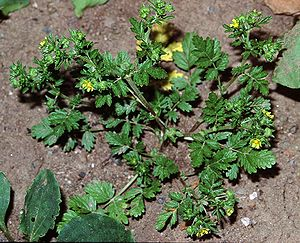 Niedriges Fingerkraut   (Potentilla supina)