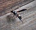 Potter mason wasp Eumeninae (24008413137).jpg