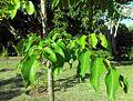 Poupartia borbonica - Bois Poupard - Mauritius.jpg