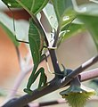 Praying mantis and datura (8037036193).jpg