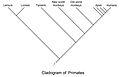 Primate cladogram.jpg