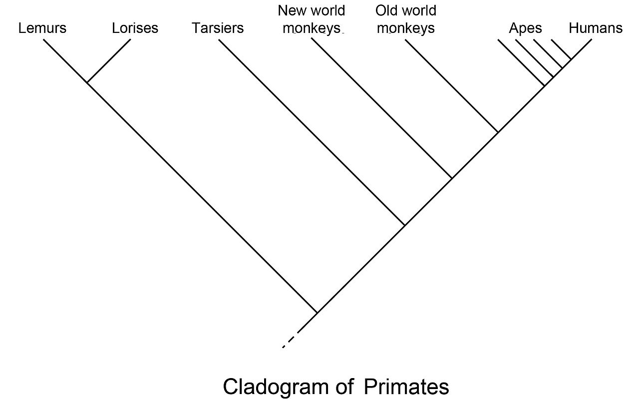 File:Primate cladogram.jpg - Wikimedia Commons