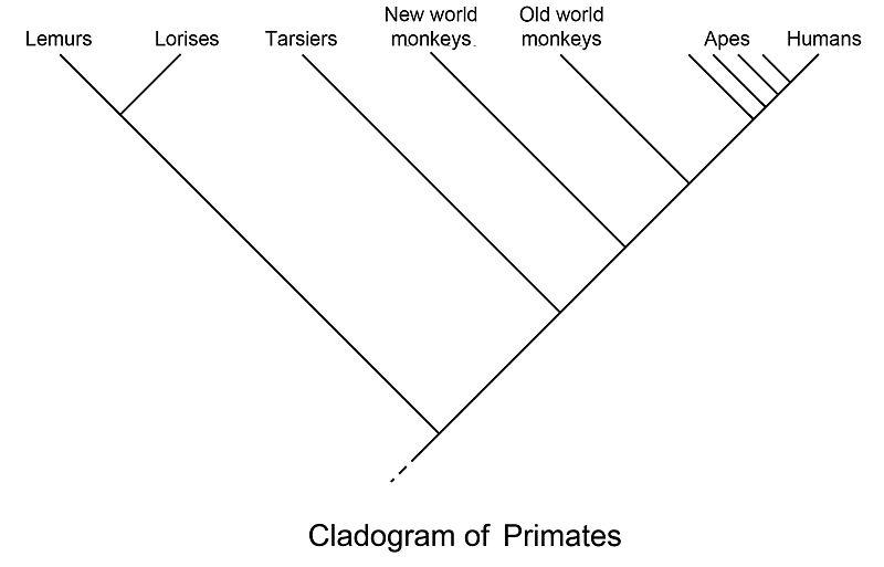 File:Primate cladogram.jpg - Wikimedia Commons