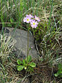 Primula nutans Simo, Finland 03.06.2013.jpg