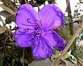 Princess flower(from Brazil). Tibouchina urvilleana - Flickr - gailhampshire.jpg